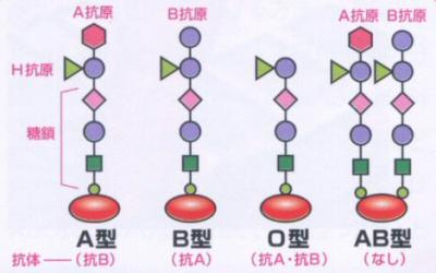画像の説明 ABO式血液型は、赤血球の膜の表面に結合している糖鎖によって決まります...  We