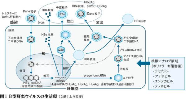 HBV複製