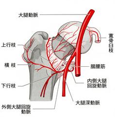 大腿骨 血管